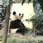 ママパンダ